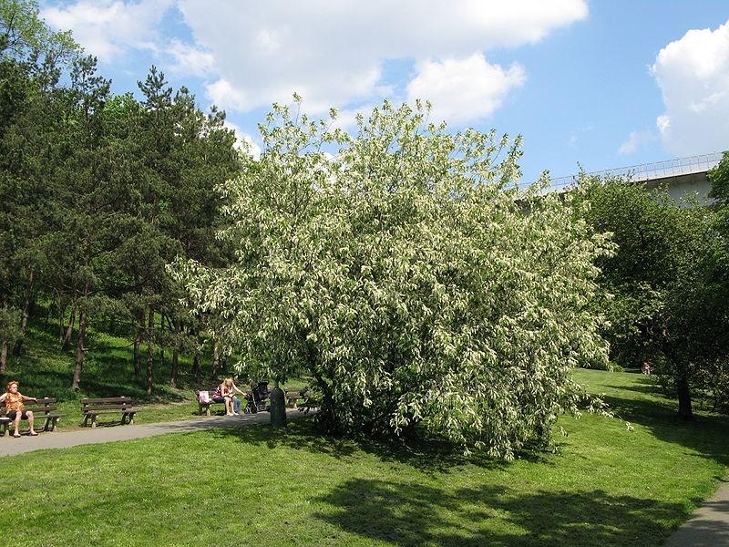 Cerisier Bois Puant : Prunus padus Author Juan de Vojnkov