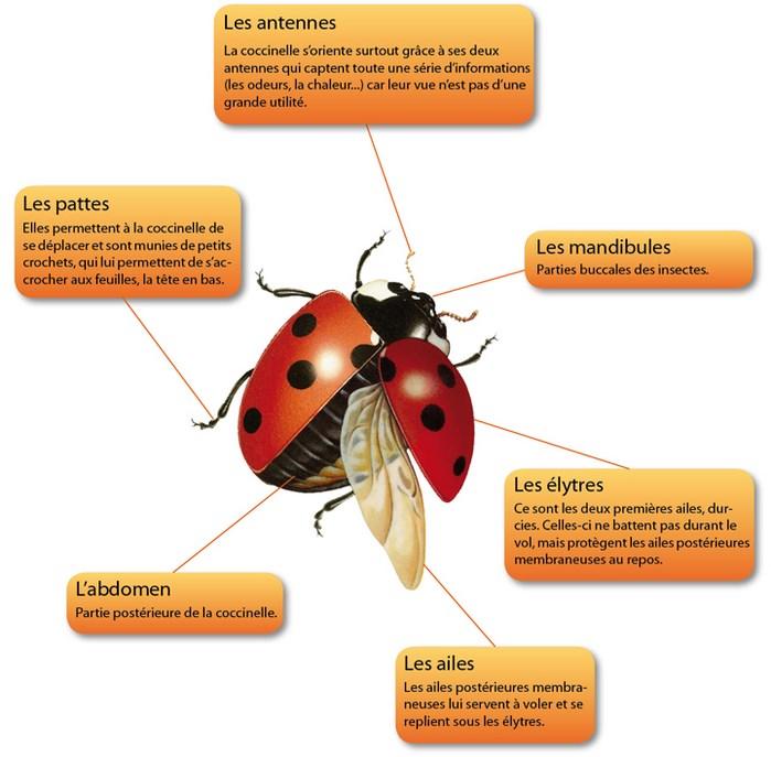 Anatomy Of Ladybug